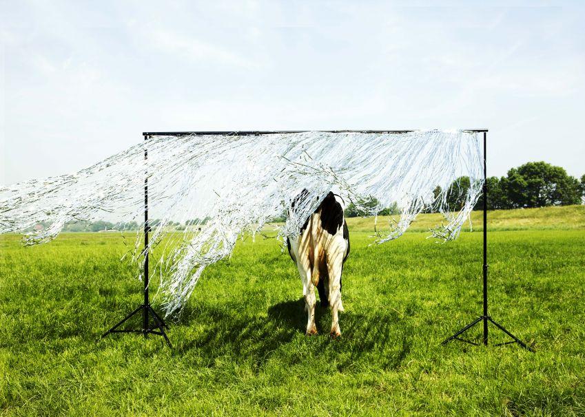 Campagnebeeld niet de klucht van de koe liggend.1260x900.lr - fotograaf sarah wijzenbeek