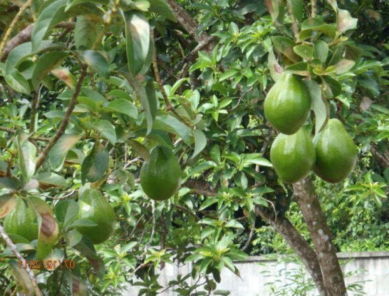 Avocado-tree-care